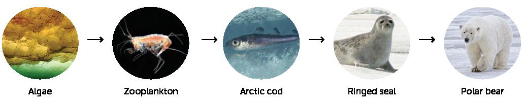 Arctic food web diagram