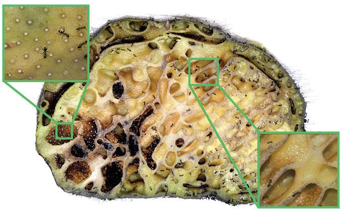 Squamellaria blob