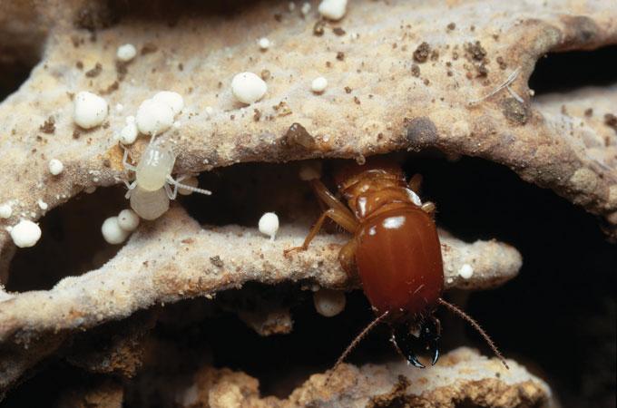 Macrotermes michaelseni termites