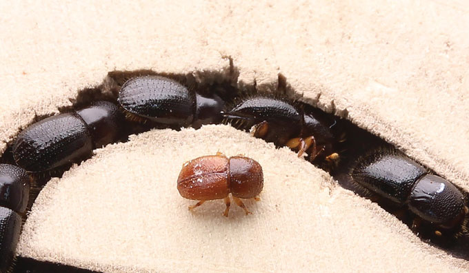 Euwallacea beetles in a tunnel