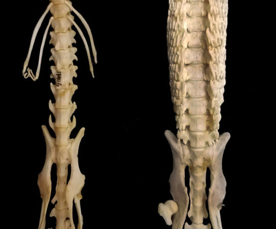 spines of an African giant shrew and a hero shrew
