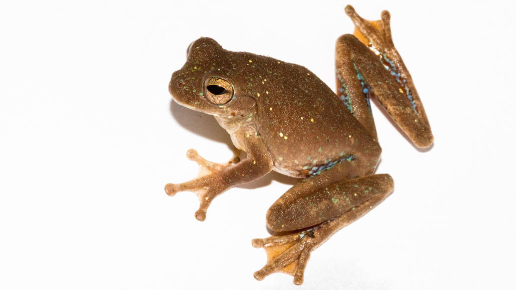 Male pug-nosed tree frog