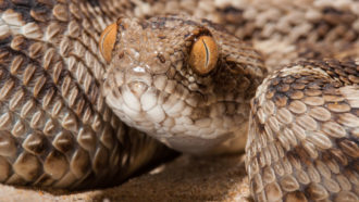 photograph of Sochurek's saw-scaled viper