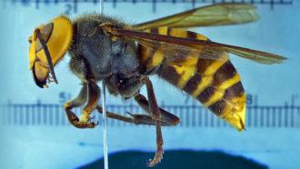 Asian giant hornet