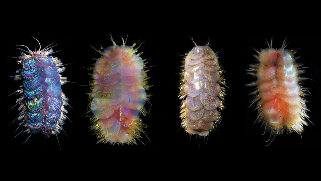 The four species of deep-sea creatures collectively known as 'Elvis worm' (one of each species shown) may be small — just millimeters to centimeters long. But they make quite the impression with their iridescent, sequinlike scales. Photo: A.S. Hatch et al/ZooKeys 2020