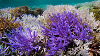 Acropora corals in New Caledonia