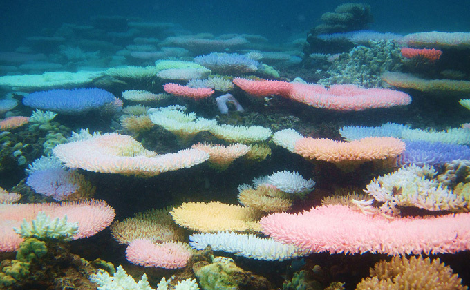 Acropora corals in the Philippines