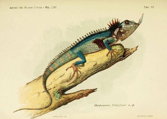 drawing of Modigliani's nose-horned lizard