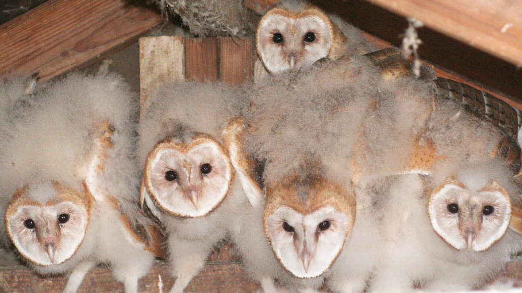 Barn Owlets Share Food With Siblings In Exchange For Grooming Science News