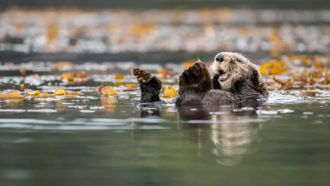 sea otter floating on water