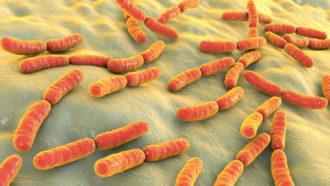 Lactobacillusbacteria
