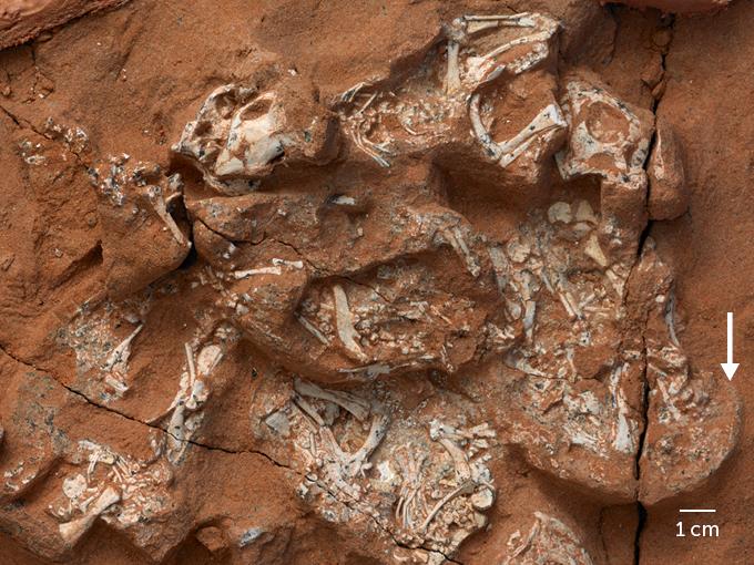dinosaur egg clutch