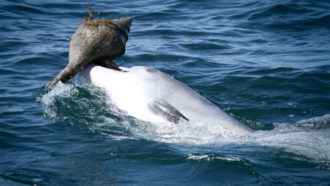 bottlenose dolphin carrying a shell