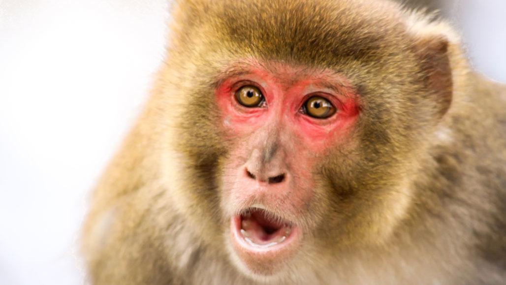 surprised-looking rhesus macaque monkey