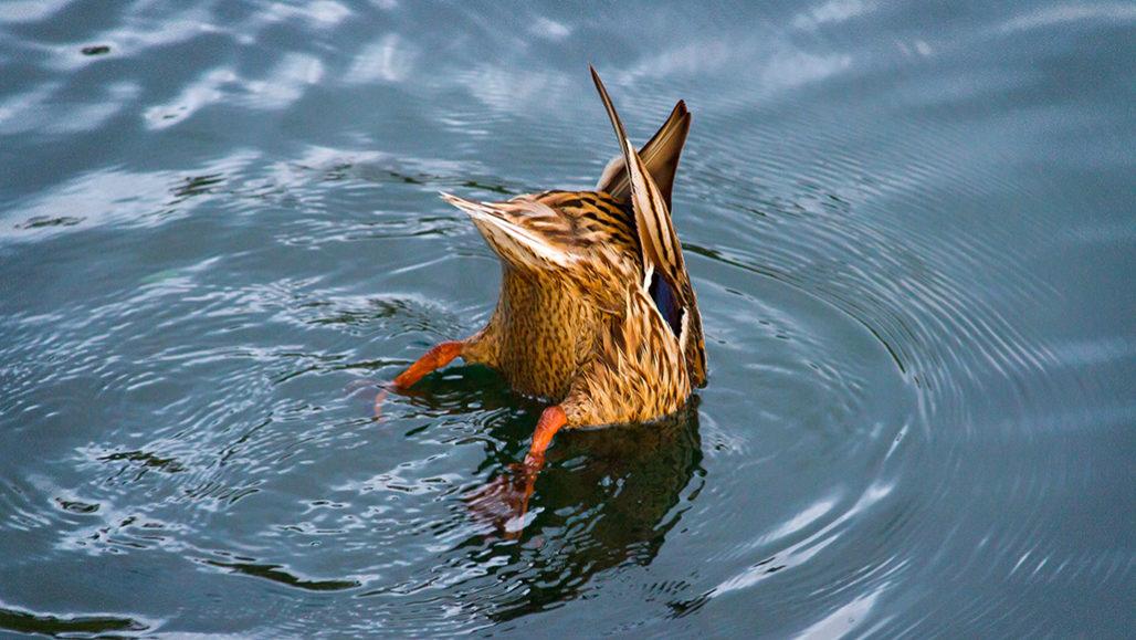 Mallad ducks fishing