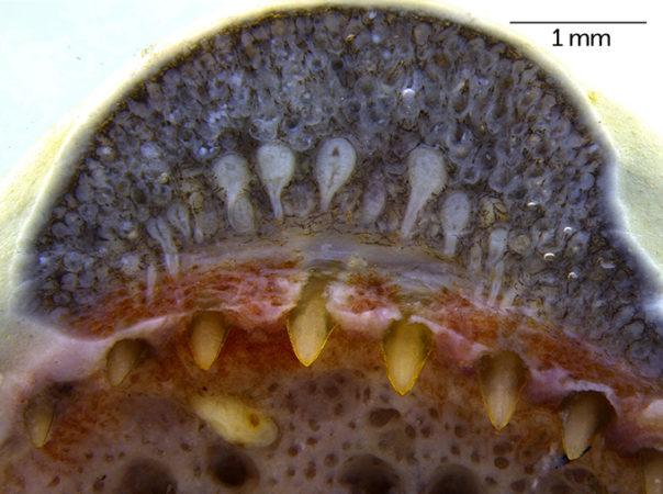 caecilian teeth and venom glands