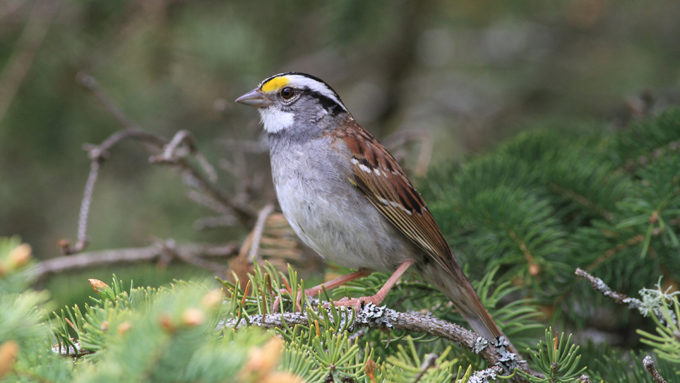 white-throated sparrow sitting on a branch
