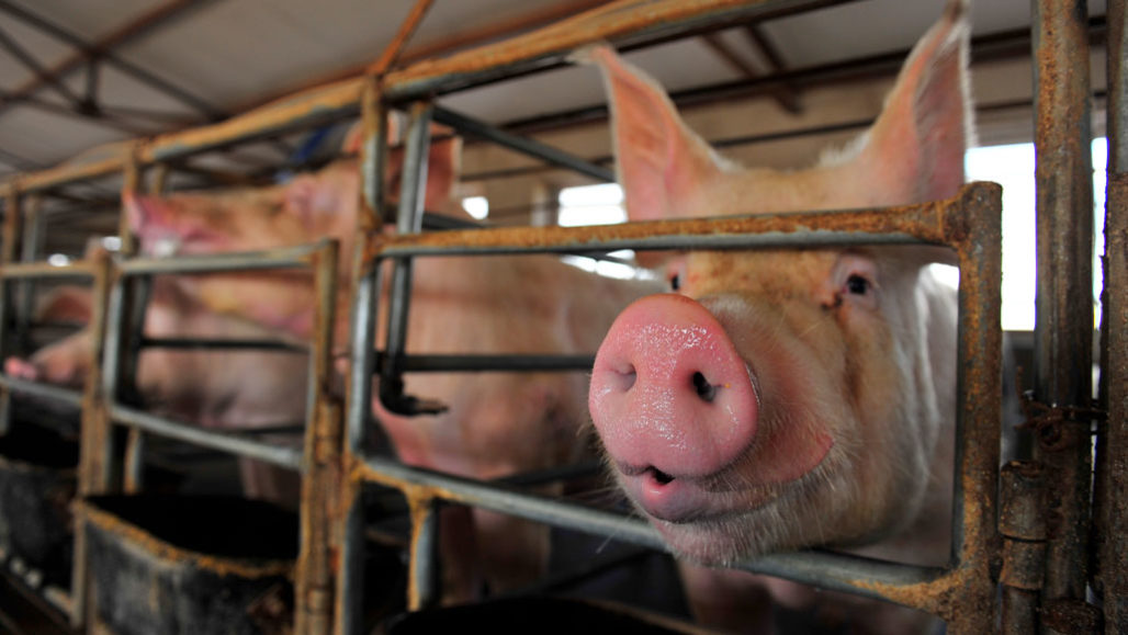 4 Reasons Not To Worry About That New Swine Flu In The News Science News
