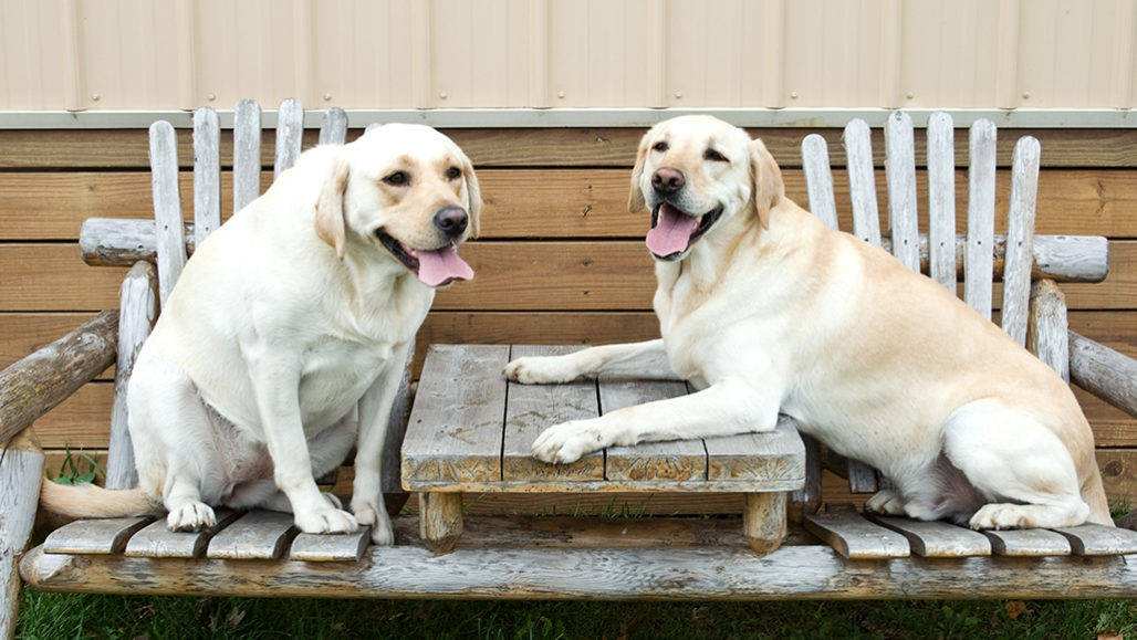 Two yellow labs