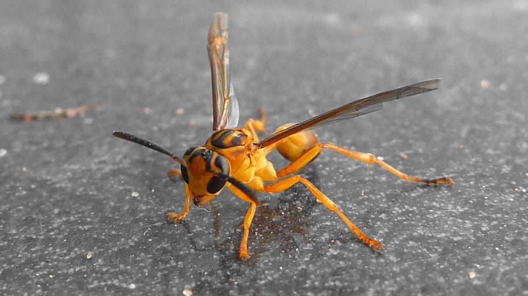 Agelaia pallipes wasp