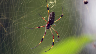 banana spider in web