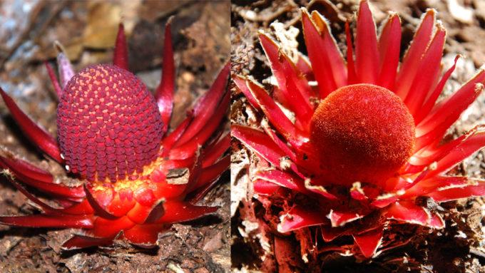 Langsdorffia hypogaeamale and female