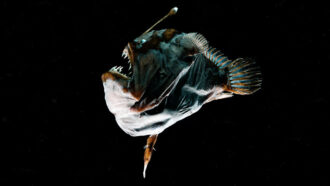 Male deep-sea anglerfish