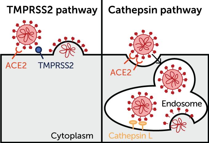 SARS-CoV-2 cell pathways