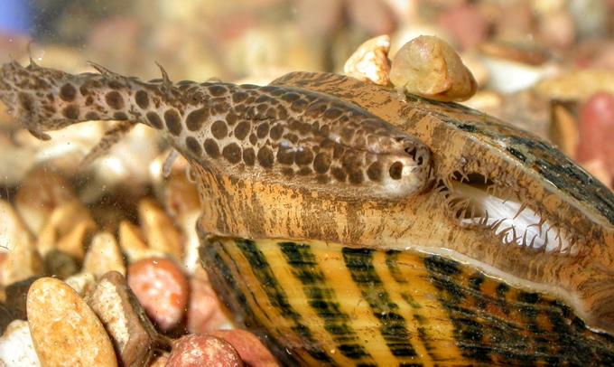 Lampsilis mussel fish lure