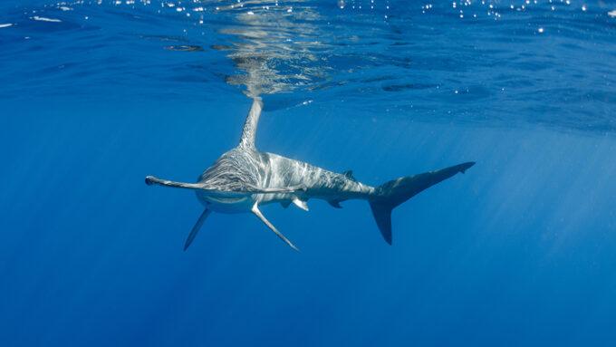 a hammerhead shark swimming