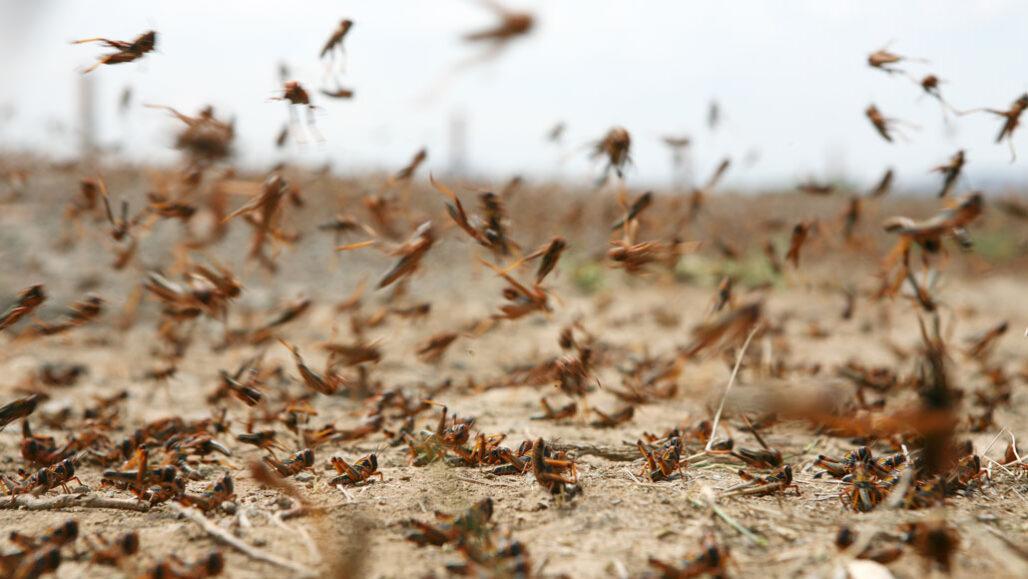 dozens of locusts flying around in the desert