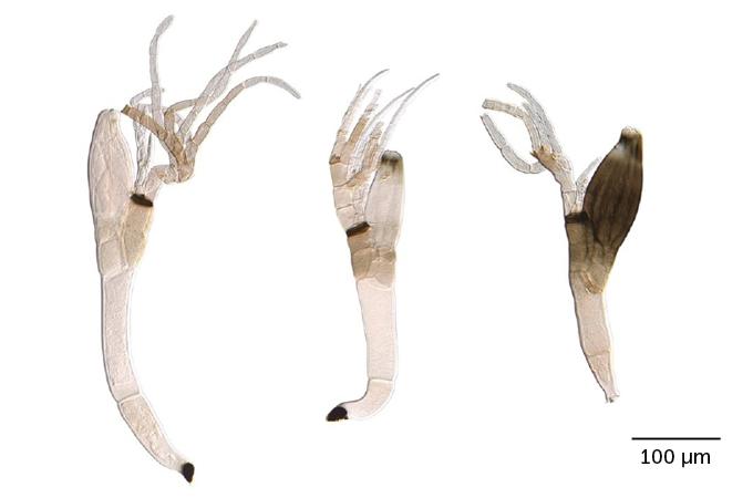 Laboulbenia quarantenae fungi
