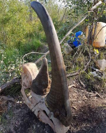 woolly rhino skull
