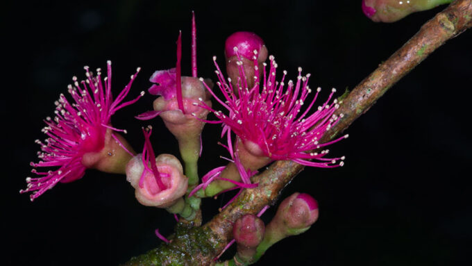 New Guinea Syzygium flower
