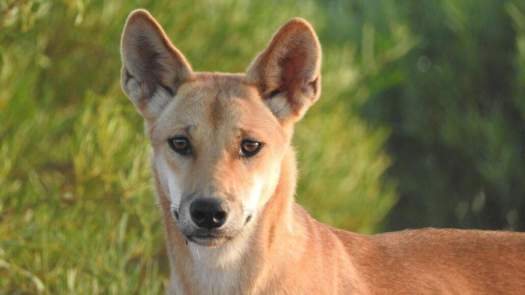 Dingo from Australia