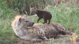 a female hyena and her cub