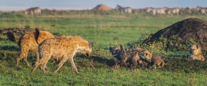 female hyenas approacing a nursing mother hyena