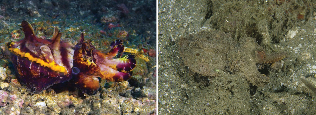 cuttlefish in colorful form and in camouflage