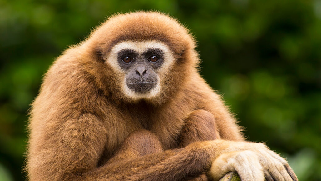 photo of a gibbon looking at the camera