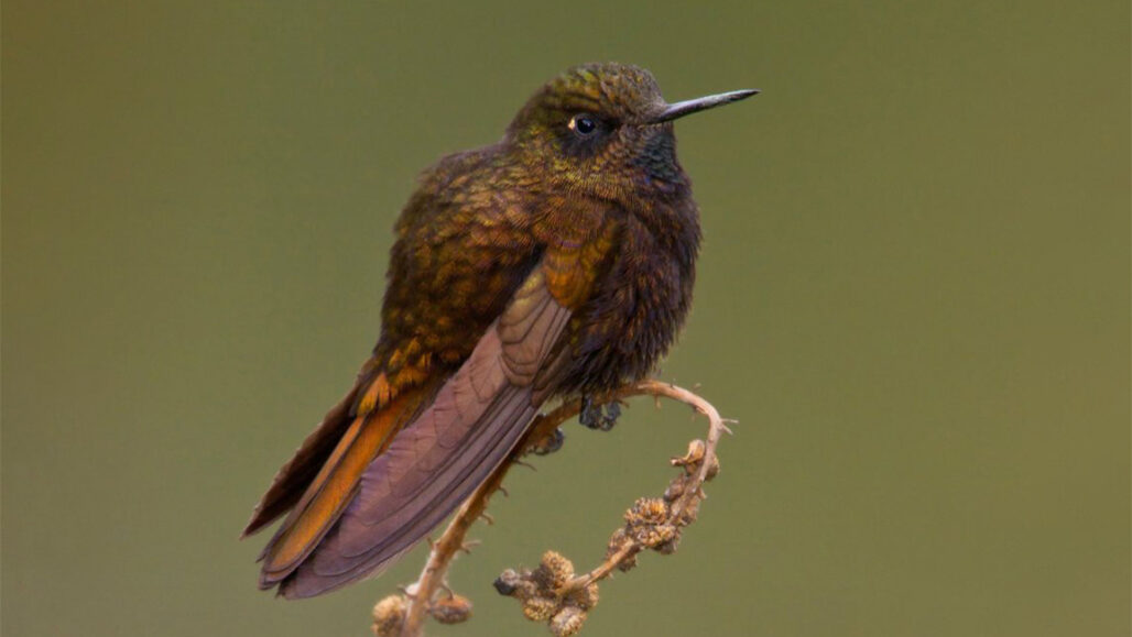black metaltail hummingbird