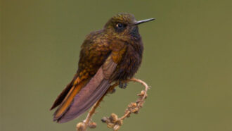 This hummingbird survives cold nights by nearly freezing itself solid