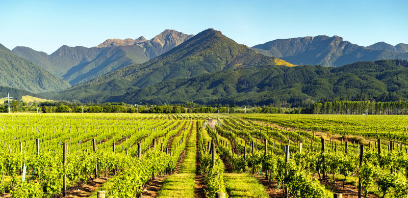 New Zealand wine grape field