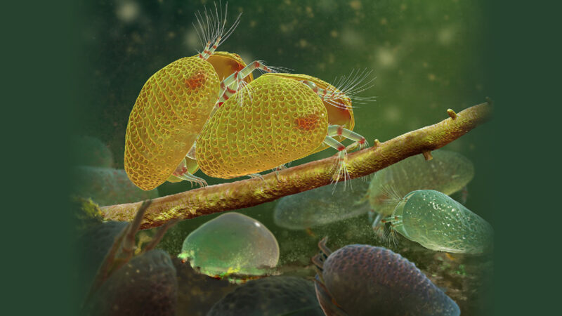 Ancient ostracod species mating