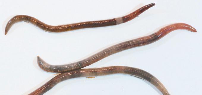 Amnythas spp.
