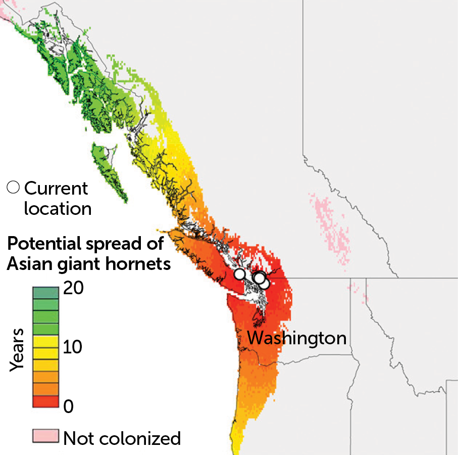 Projected Asian giant hornet spread over 20 years with human aid