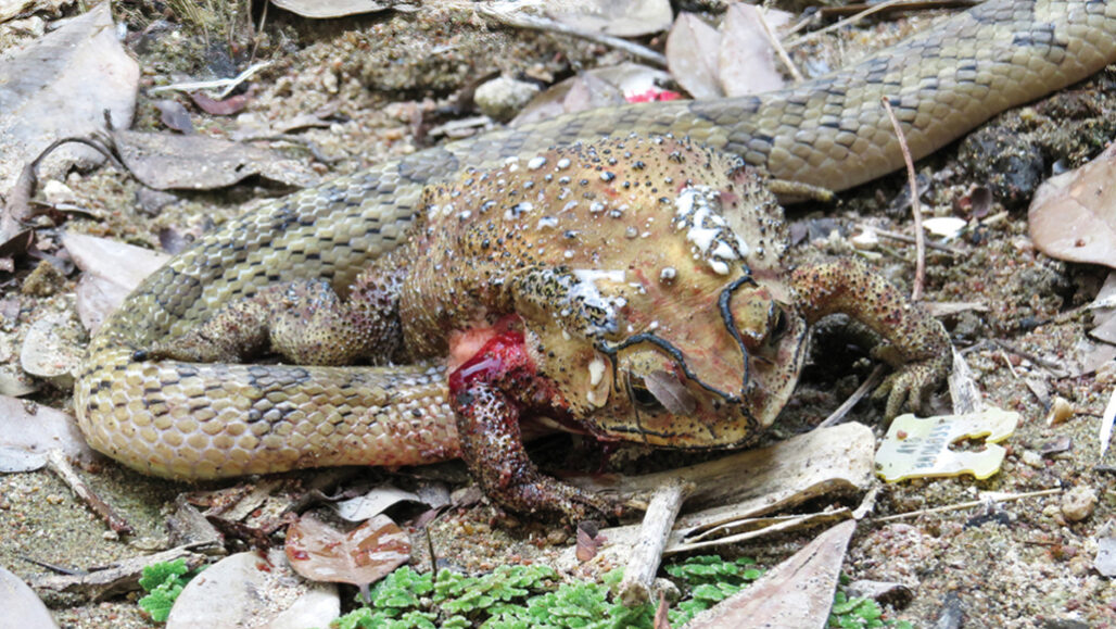 small-banded kukri snake tearing open toad stomach