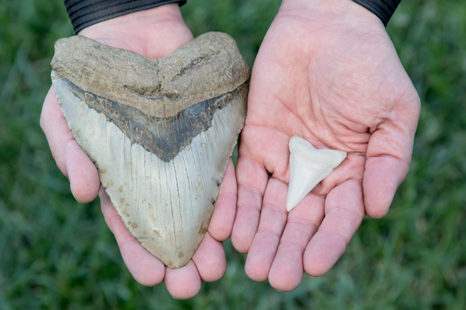 Megalodon shark tooth compared to great white shark tooth