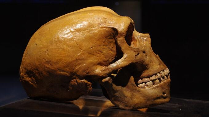Neandertal skull