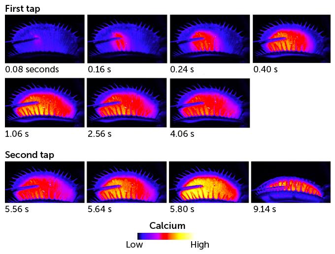 Calcium levels in venus flytrap graphic