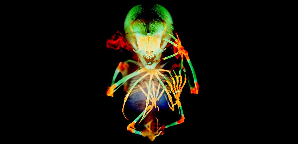 fruit bat embryo